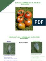 Plagas y Enfermedades Del Tomate