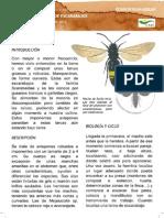 Avispa Parasitoide de Escarabajos