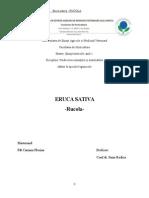 Eruca Sativa Rucola