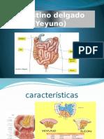 Intestino Delgado (Yeyuno)