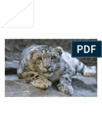 Leopardo de Las Nieves, Miradas Reclinables, De Tierra, Buscando, Felino, Grandes, Gato, Animales, La Vida Silvestre,