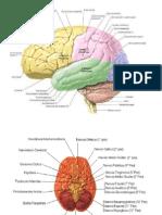 partes del cerebro y cerebelo