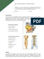 Aula de Anatomia - Sistema Articular - Anfiartroses (Cartilaginosas)