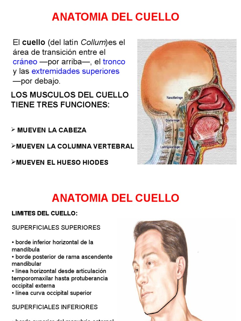 Anatomia Cuello