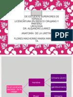 ANATOMIA DE URETRA