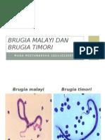 Brugia Malayi Dan Brugia Timori