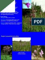 WetlandInvasives