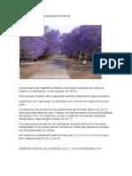 JACARANDA AZUL – Jacaranda Mimosifolia