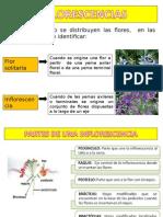 Inflorescencia (1)