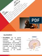 Cerebro Humano vs Cerebro Gorila