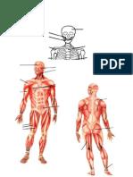 Osos y Musculs