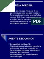 ERISIPELA PORCINA1