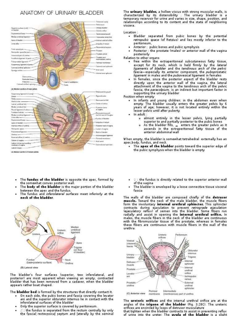 Anatomy Of Urinary Bladder Urinary Bladder Pelvis