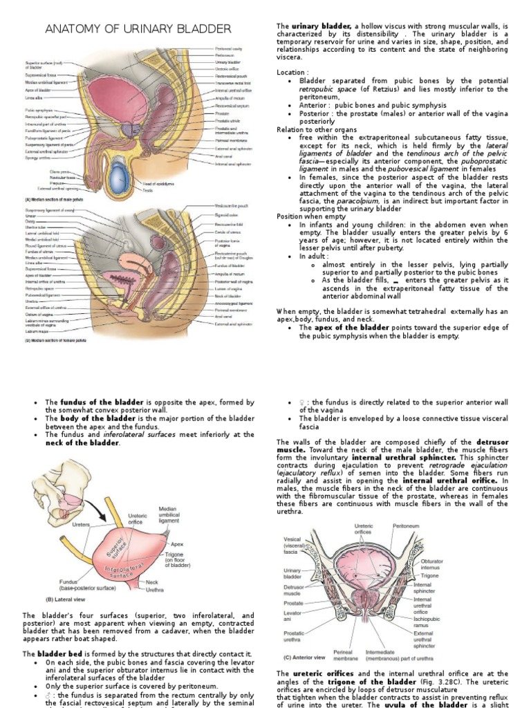 Anatomy Of Urinary Bladder Urinary Bladder Pelvis