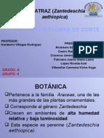 ALCATRAZ (Zantedeschia Aethiopica)