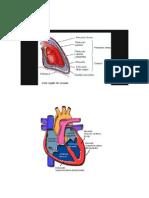 El Funcionamiento Del Aparato Circulatorio Sanguíneo