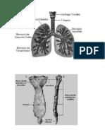 anexos Torax y pulmon huesos.doc
