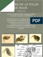 Anatomia de La Pulga de Agua