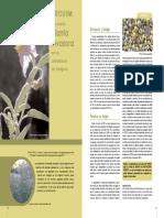 Solanum elaeagnofolium