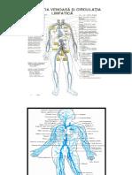 Sistem vascular - vene.pdf