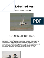 Black Bellied Tern