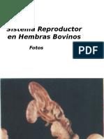 Sistema Reproductor en Hembras Bovinos
