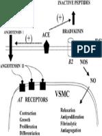 Hubungan Angiotensin II Dengan NO