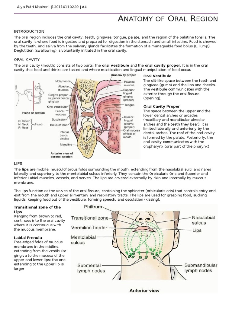 Anatomy of Oral Region | Tongue | Human Tooth