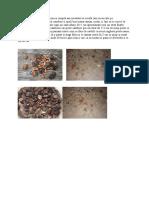stratificare seminte