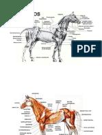 Anatomia Caballo