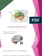 Areas Funcionales de La Corteza Cerebral (1)