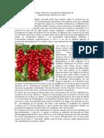Schizandra Chinensis Planta Adaptogena Esquisandra