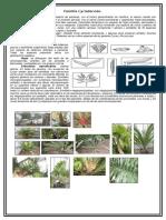 Familia Cycadaceae