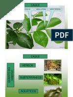 Biologia Botânica - Caule