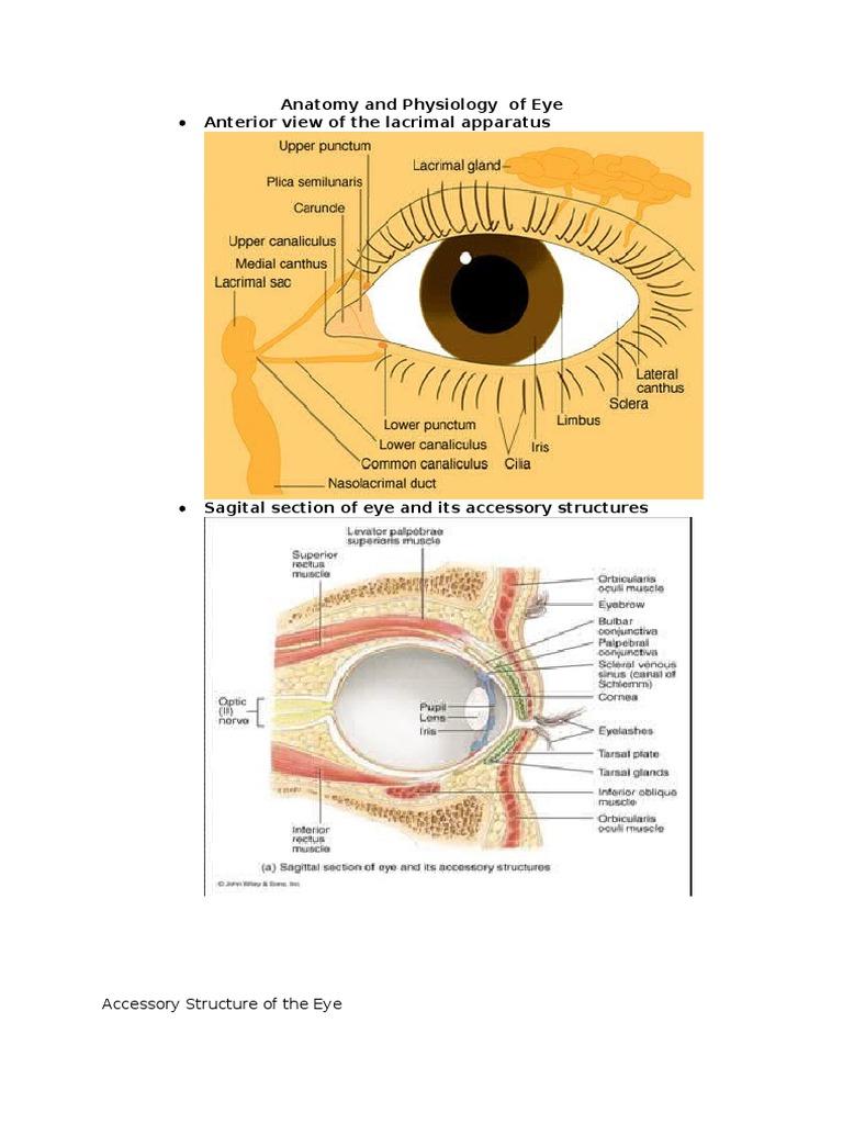 Anatomy of Eye | Human Eye | Human Head And Neck