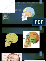 Anatomia Craneo