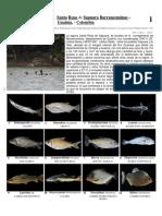 Guía ilustrada peces Guainía