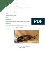 Características del grillo campestre.doc
