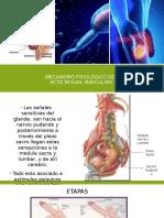 Mecanismo Fisiológico Del aparato reproductor masculino