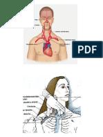 Anatomia Subclavia