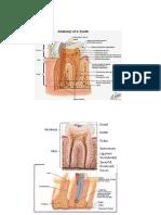 gambar_anatomi_gigi[1]
