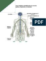 Sistema Nervioso Periférico Identificando Los Nervios Raquídeos