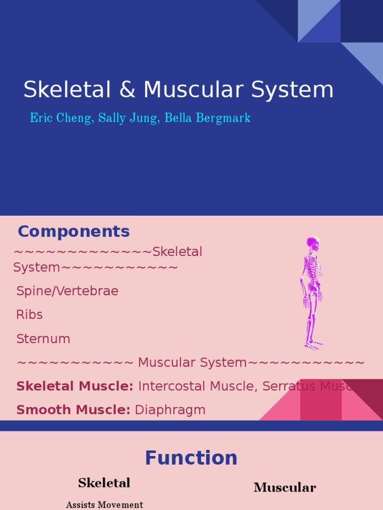 Muscular Skeletal System Myocyte Muscle
