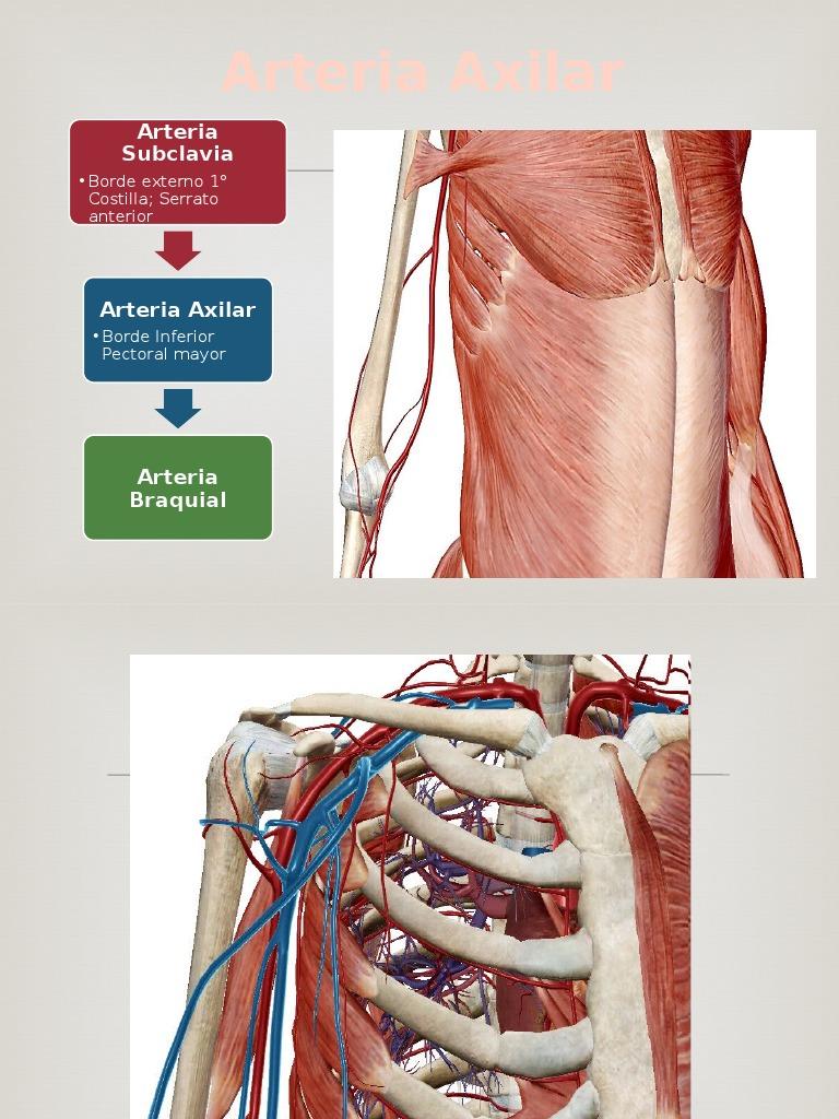 Arterias Miembro Sup