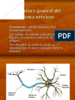 Estructura General Del Sistema Nervioso