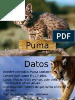 Puma Pumin Presentacion