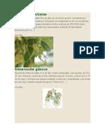 Clethra mexicana.docx