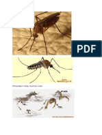 Nyamuk Culex sp.docx