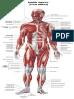 Apparato Muscolare Fronte