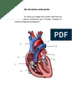 Taller Del Sistema Cardiovascular